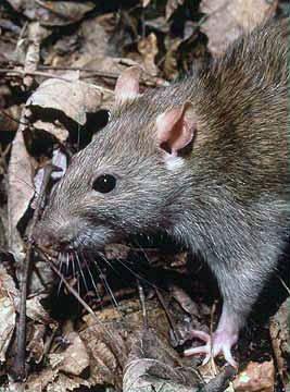 Плъховете (Rattus)