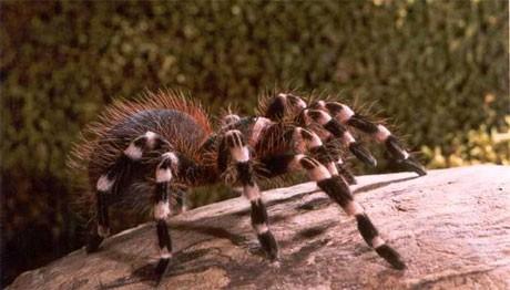 Гигантска белоколенеста тарантула (Acanthoscurria geniculata)