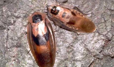 Южноамерикански летящи хлебарки Blaberus giganteus