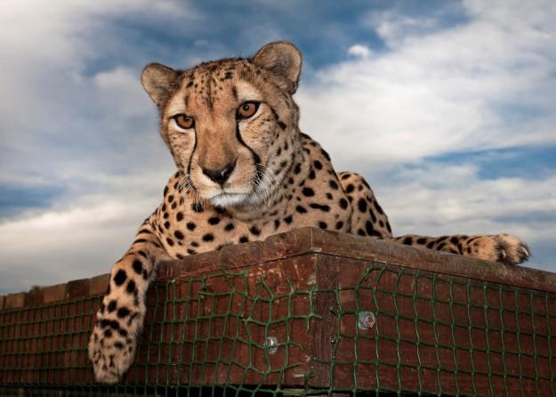 """Дневниците на гепардите"" по Viasat Nature"