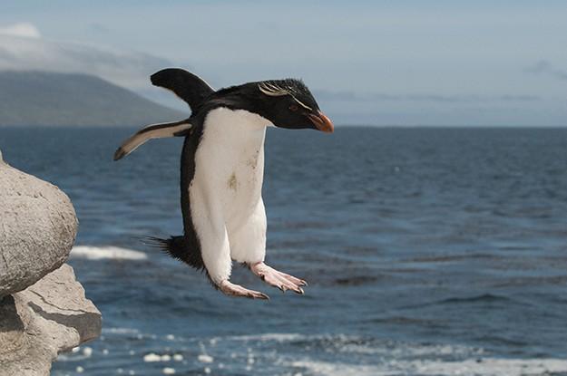 Пингвините - шпиони в стадото