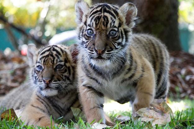 Домашни тигри
