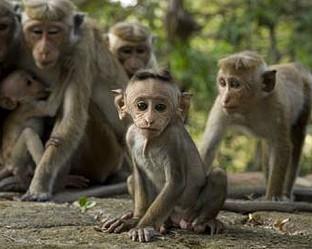 Тежки времена в града на маймуните