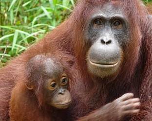Острова на орангутаните